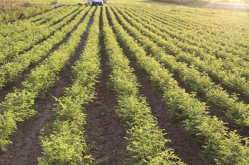 Roseraie Ducher - rose rootstock field